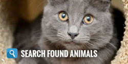 Search found animals - grey cat with gold eyes