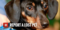 Report a lost pet - cute dachshund